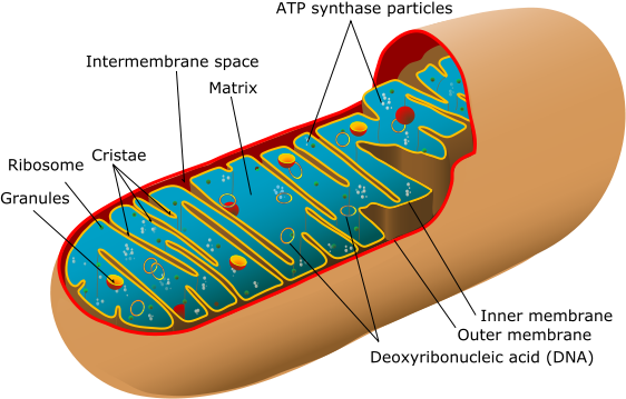 562pxAnimal_mitochondrion_diagram_en_edit cell organelles cells the basic units of life siyavula