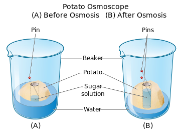 diffusion and osmosis of a potato Paul andersen starts with a brief description of diffusion and osmosis he then describes the diffusion demonstration and how molecules move over time he th.