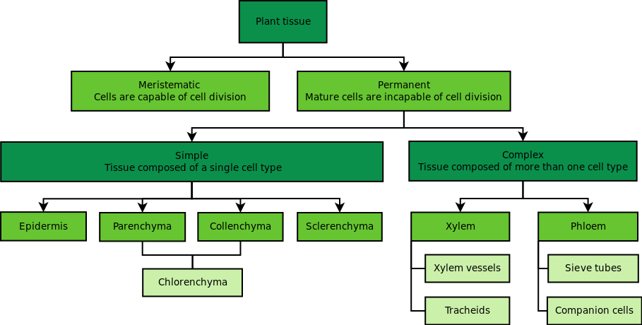 Plant Tissues | Plant And Animal Tissues | Siyavula
