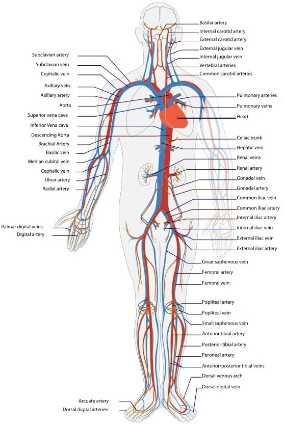 Circulatory Systems In Animals   Transport Systems In