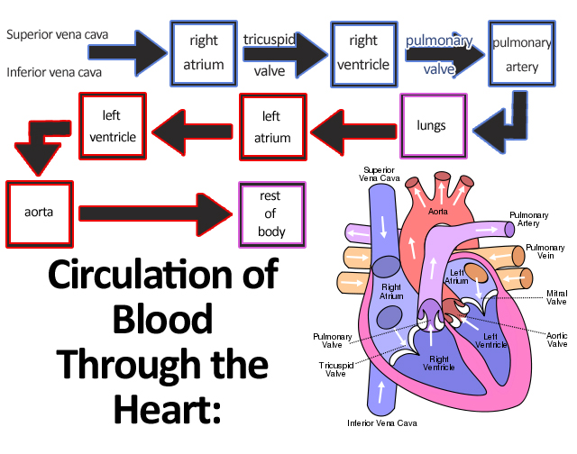 Circulatory Systems In Animals Transport Systems In Animals Siyavula