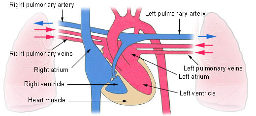 Circulatory systems in animals transport systems in animals siyavula figure 73 pulmonary circulation system oxygen rich blood is shown in red oxygen depleted blood is shown in blue ccuart