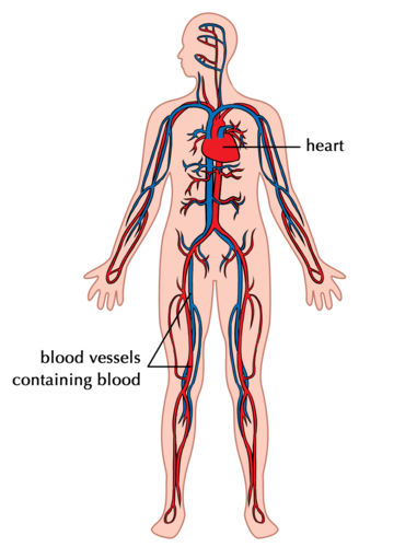 human circulatory system diagram the circulatory system systems in the human body siyavula  the circulatory system systems in the